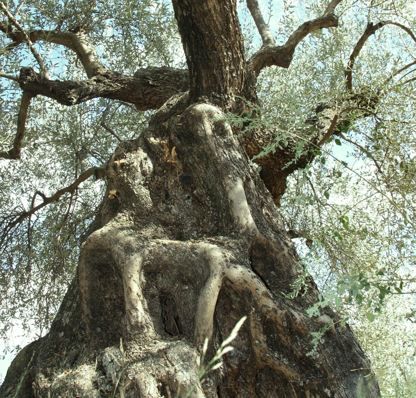 The olive tree thrives in temperate climates