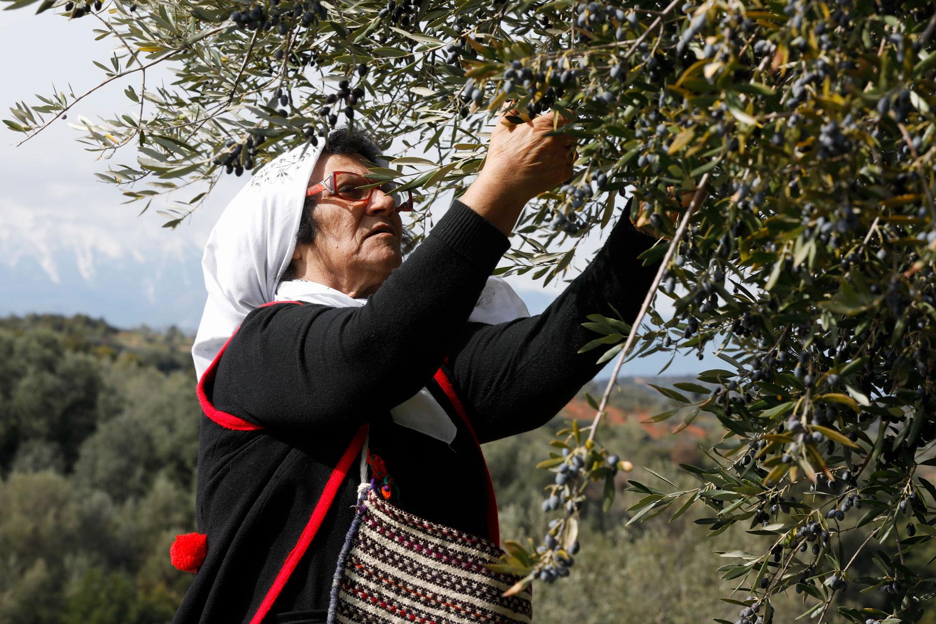 Το μάζεμα της ελιάς είναι η αγροτική δραστηριότητα του Φθινοπώρου