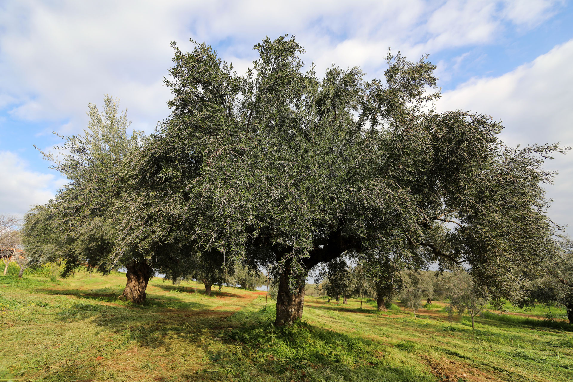 Το ευλογημένο δέντρο της ελιάς