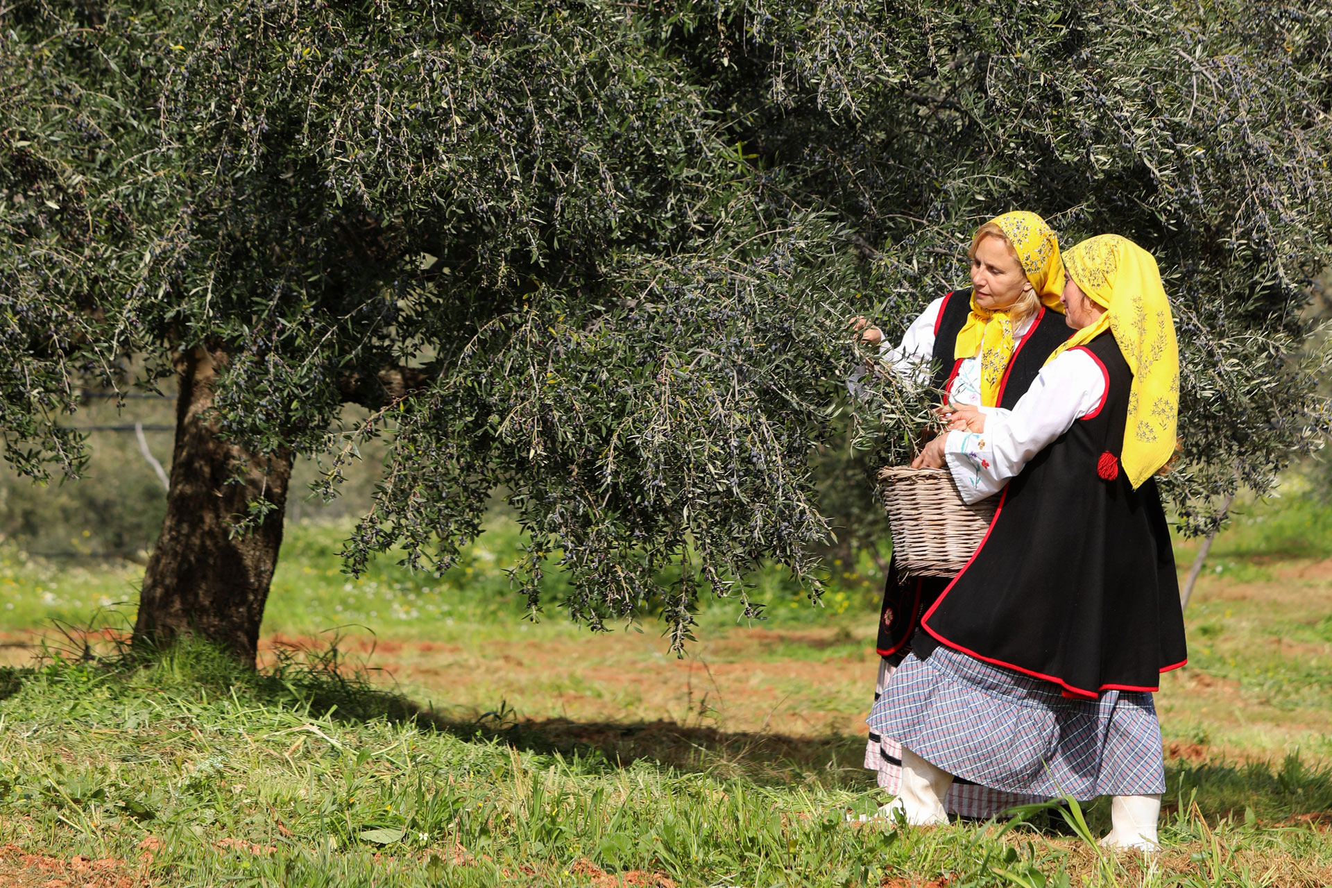 Olives are traditionally picked by hand